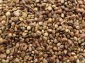 Hemp seeds (Cannabis sativa)