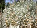 Old man saltbush (Atriplex nummularia), foliage
