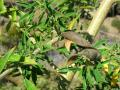 Tagasaste (Chamaecytisus prolifer), pods and leaves