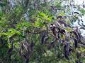 Tagasaste (Cytisus proliferus), pods
