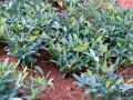 Bambara groundnut